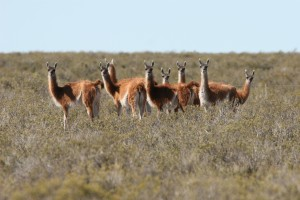 Guanacos in Patagonia - Photo by Iain Kerr