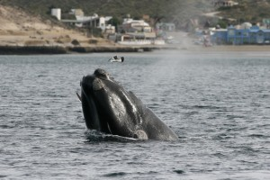 Gull Attack on Right Whale