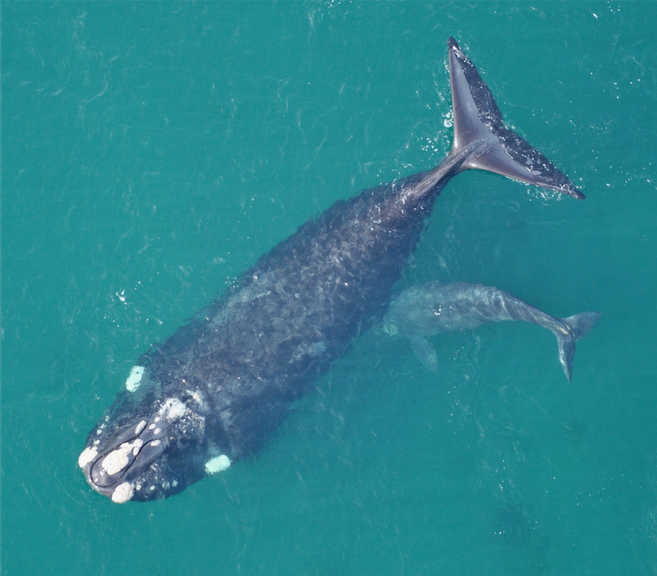 Southern Right Whale Mother and Calf