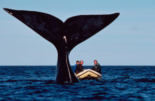 Roger Payne with Southern Right Whale - Photo by Flip Nicklin