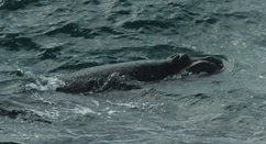 Right whale baby calf - Photo by Vicki Rowntree