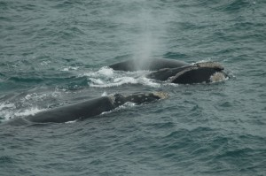 Right Whale Callosities - Photo by Vicky Rowntree