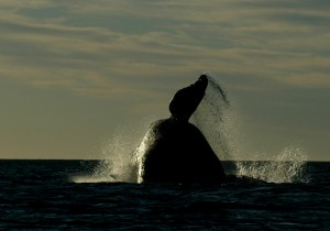 Right Whale Breach - Photo by Mariano Sironi