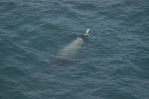 Strapped-Tooth Beaked Whale-0030036571