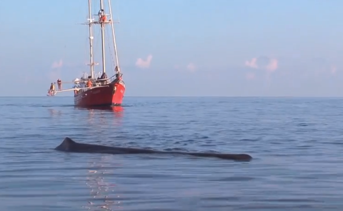 Sperm whales found from oil spill