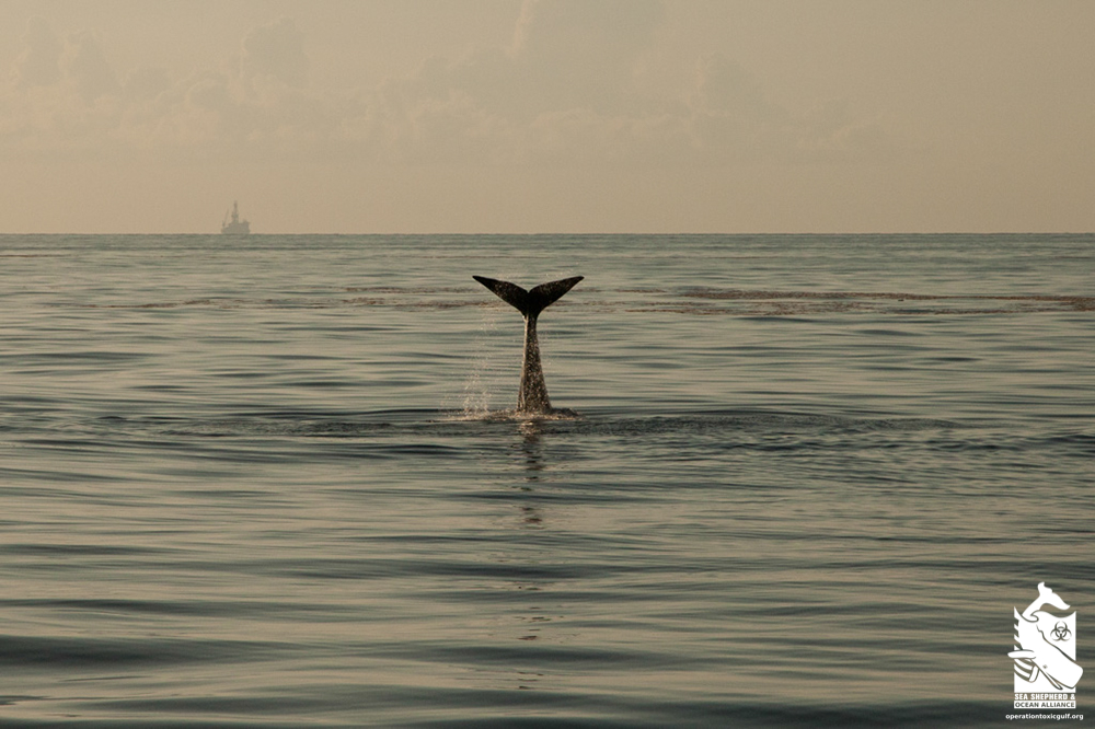 Whale tail with oil rig in the Gulf of Mexico