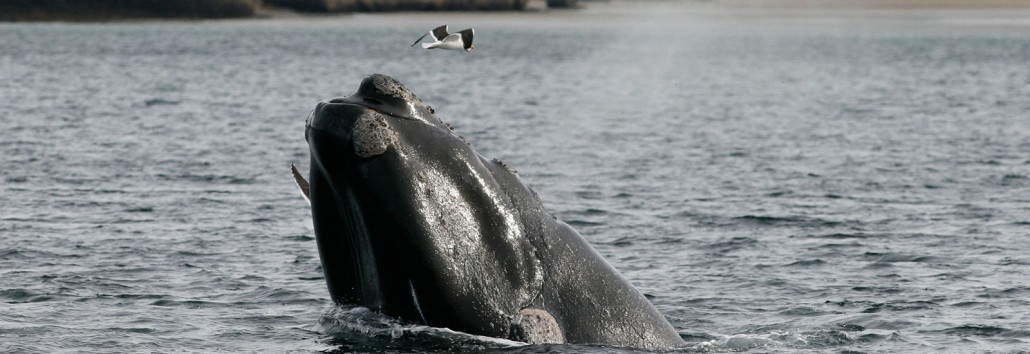 Kelp Gull attacking Southern Right Whale