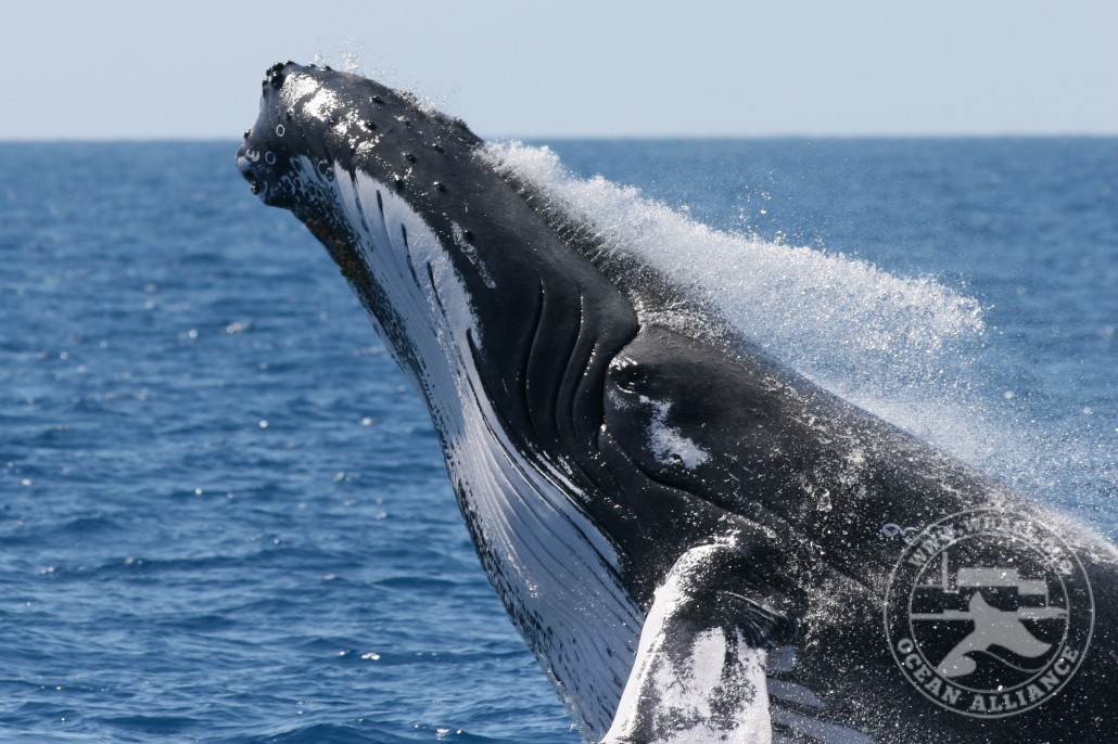 Humpback Whale Research & Monitoring